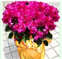【しっかりボリュームサイズ】≪華やかさで人気♪明るく飾れる♪≫サマーロゼ・*南国感たっぷり!あたたかな贈り物*お祝いギフト・園芸・鉢花・ブーゲンビリア・夏ギフト・お中元・サマーギフト