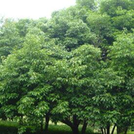 緑化用 草本 アラカシ 日本産 種 1kg 種のみの販売 侵食防止 緑化 法面 種子 紅大 共B 代引不可 個人宅配送不可