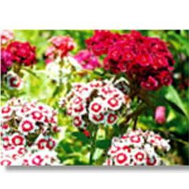 緑化用 フラワー 種子 ビジョナデシコ 種 1kg 種のみの販売 侵食防止 緑化 法面 種子 紅大 共B 代引不可 個人宅配送不可