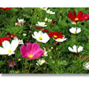 緑化用 フラワー 種子 コスモス 早咲 センセイション 矮性 混色 種 1kg 種のみの販売 侵食防止 緑化 法面 種子 紅大 共B 代引不可 個人宅配送不可