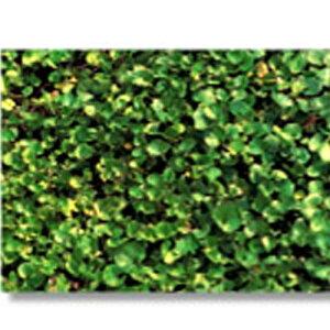 マメ 草 種 ダイカンドラ 種 1kg 種のみの販売 侵食防止 緑化 法面 種子 紅大 共B 代引不可 個人宅配送不可