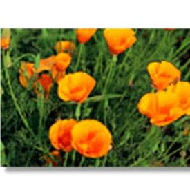 緑化用 フラワー 種子 ハナビシソウ 種 1kg 種のみの販売 侵食防止 緑化 法面 種子 紅大 共B 代引不可 個人宅配送不可