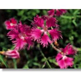 緑化用 フラワー 種子 カワラナデシコ 種 1kg 種のみの販売 侵食防止 緑化 法面 種子 紅大 共B 代引不可 個人宅配送不可