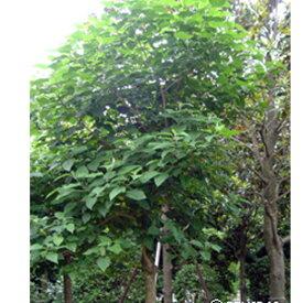 緑化用 草本 クサギ 日本産 種 100g 種のみの販売 侵食防止 緑化 法面 種子 紅大 共B 代引不可 個人宅配送不可