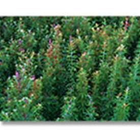 緑化用 草本 メドハギ 皮取 種 1kg 種のみの販売 侵食防止 緑化 法面 種子 紅大 共B 代引不可 個人宅配送不可