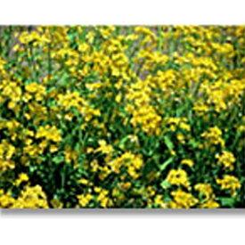 緑化用 フラワー 種子 ナノハナ 種 1kg 種のみの販売 侵食防止 緑化 法面 種子 紅大 共B 代引不可 個人宅配送不可