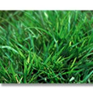 芝 草 種 ノシバ 発芽促進処理済み 種 1kg 種のみの販売 侵食防止 緑化 法面 種子 紅大 共B 代引不可 個人宅配送不可