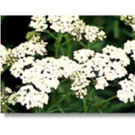 緑化用 フラワー 種子 セイヨウノコギリソウ 種 1kg 種のみの販売 侵食防止 緑化 法面 種子 紅大 共B 代引不可 個人宅配送不可