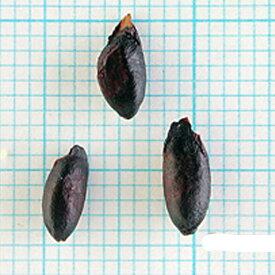 緑化用 草本 センダン 果肉取 日本産 種 1kg 種のみの販売 侵食防止 緑化 法面 種子 紅大 共B 代引不可 個人宅配送不可