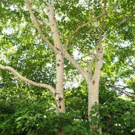 緑化用 草本 シラカンバ 日本産 種 100g 種のみの販売 侵食防止 緑化 法面 種子 紅大 共B 代引不可 個人宅配送不可