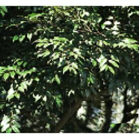 緑化用 草本 スダジイ 日本産 種 1kg 種のみの販売 侵食防止 緑化 法面 種子 紅大 共B 代引不可 個人宅配送不可