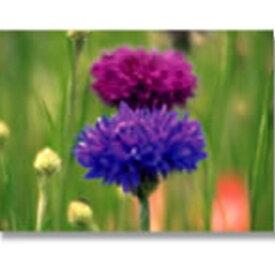緑化用 フラワー 種子 ヤグルマギク ポルカドット 混色 種 1kg 種のみの販売 侵食防止 緑化 法面 種子 紅大 共B 代引不可 個人宅配送不可