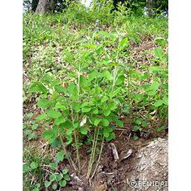 緑化用 草本 ヤマハギ 皮取 種 1kg 種のみの販売 侵食防止 緑化 法面 種子 紅大 共B 代引不可 個人宅配送不可