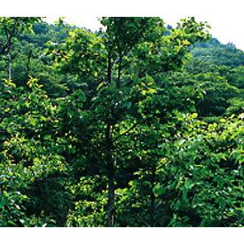 緑化用 草本 ヤマハンノキ 日本産 種 100g 種のみの販売 侵食防止 緑化 法面 種子 紅大 共B 代引不可 個人宅配送不可