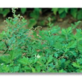緑化用 草本 ヨモギ 日本産 種 100g 種のみの販売 侵食防止 緑化 法面 種子 紅大 共B 代引不可 個人宅配送不可