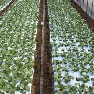 チンゲン菜栽培比較(左側がタイベック使用)