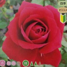 11月中旬以降出荷予定 北海道配送不可 ニーナウェイブル 大苗 4号ポット 中輪 房咲 黒赤 薔薇 苗 米S 代引不可