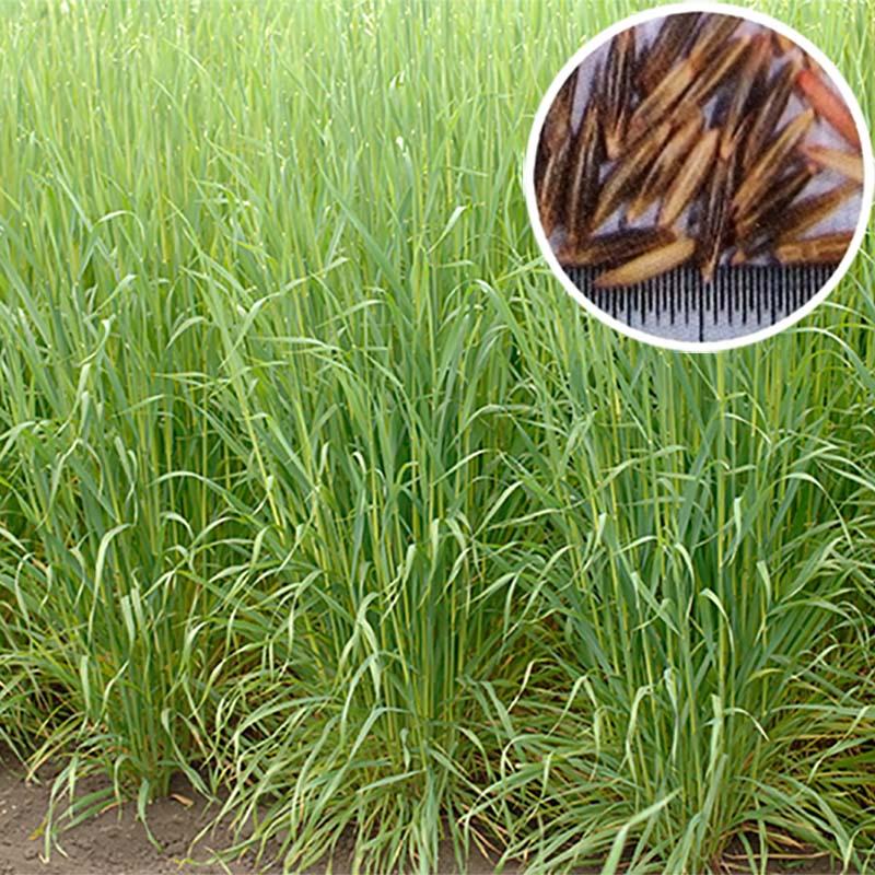 【種 10kg】 緑肥ヘイオーツ 線虫抑制 緑肥 えん麦 えんばく 雪印種苗 米S【代引不可】
