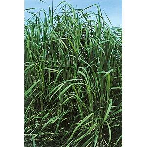 【種 10kg】 チモシー クライマックス 中生 畑地 牧草 緑肥 [播種期:4〜10月] 雪印種苗 米S【代引不可】