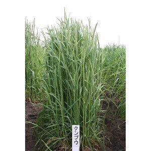 種 5kg チモシー クンプウ 極早生 畑地 牧草 緑肥 [播種期:4〜10月] 雪印種苗 米S 代引不可