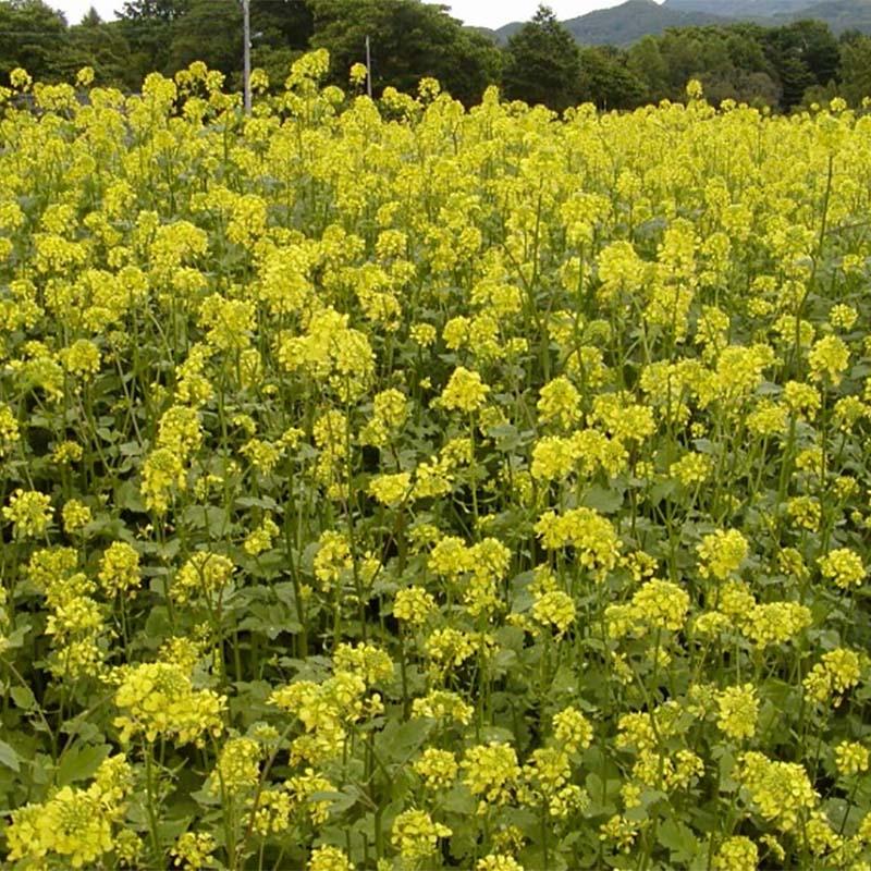 【種 7kg】 シロガラシ キカラシ 畑作 園芸 緑肥 景観緑肥 雪印種苗 米S【代引不可】