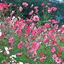 【種 1kg】 コスモス 景観用コスモス 緑肥作物 [春まき主体] 景観用 タキイ種苗 米S 【送料無料】 【代引不可】