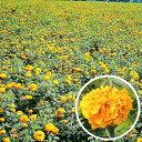 【種 1L】 アフリカンマリーゴールド アフリカントール 緑肥作物 [春まき主体] 景観用 タキイ種苗 米S 【送料無料】 …