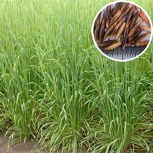 種 10kg 緑肥ヘイオーツ 線虫抑制 緑肥 えん麦 えんばく 雪印種苗 米S 送料無料 代引不可