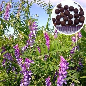 種 10kg 藤えもん マッサ ヘアリーベッチ 早生 緑肥 ミツバチの蜜源に 雪印種苗 植物 米S 送料無料 代引不可