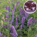 【種 10kg】 寒太郎 (サバン) ヘアリーベッチ 晩生 緑肥 ミツバチの蜜源に 雪印種苗 植物 米S【送料無料】 【代引不可】