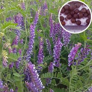 種 10kg 寒太郎 サバン ヘアリーベッチ 晩生 緑肥 ミツバチの蜜源に 雪印種苗 植物 米S 送料無料 代引不可