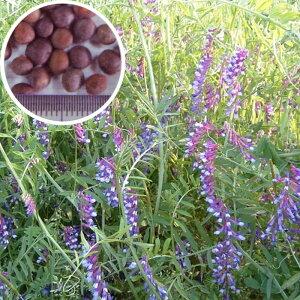 種 10kg まめ助 ナモイ ヘアリーベッチ 晩生 緑肥 ミツバチの蜜源に 雪印種苗 植物 米S 送料無料 代引不可