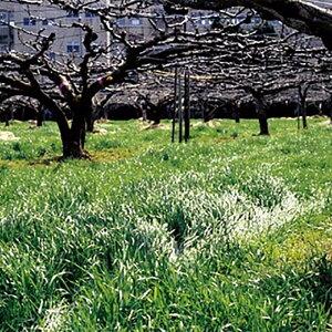 種 10kgマンモスイタリアンB ビリケン イタリアンライグラス 緑肥 イネ科作物 雪印種苗 米S 送料無料 代引不可