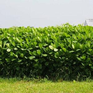 種 5kg クロタラリア ネマックス 畑地 線虫対策 緑肥 播種期:5〜7月 雪印種苗 米S 送料無料 代引不可