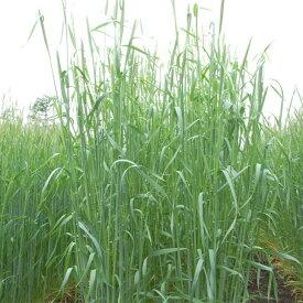 【種 14kg】 ライムギ ライ麦 R-007 (ウイーラー) 中晩生 畑作 緑肥 雪印種苗 米S【送料無料】 【代引不可】