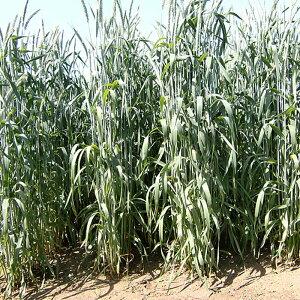 種 10kg ライコムギ ライコッコ3 極早生 酪農 畜産 緑肥 播種期:10〜11月 雪印種苗 米S 送料無料 代引不可