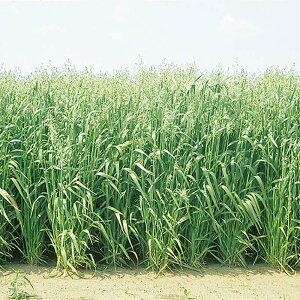 種 10kg エンバク ニューオールマイティ 中生 酪農 畜産 緑肥 播種期:2〜11月 えん麦 雪印種苗 米S 送料無料 代引不可