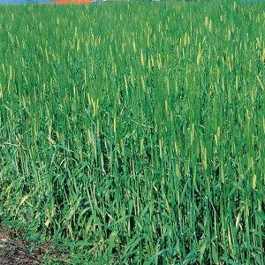 種 10kg オオムギ ワセドリ2条 極早生 酪農 畜産 緑肥 播種期:8〜11月 大麦 雪印種苗 米S 送料無料 代引不可