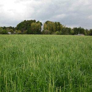 種 10kg オオムギ ムサシボウ 中生 酪農 畜産 緑肥 播種期:10〜11月 大麦 雪印種苗 米S 送料無料 代引不可