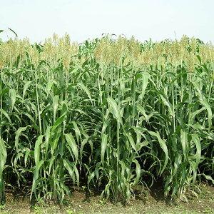 種 6kg ソルガム ハイグレンソルゴー 中早生 酪農 畜産 緑肥 播種期:5〜8月 雪印種苗 米S 送料無料 代引不可