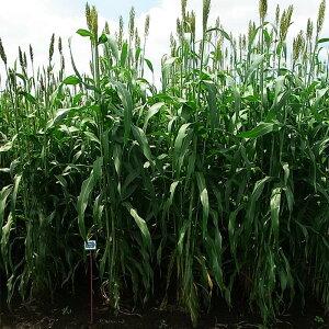 種 5kg ソルガム シュガーグレイズ 早生 酪農 畜産 緑肥 播種期:4〜8月 雪印種苗 米S 送料無料 代引不可