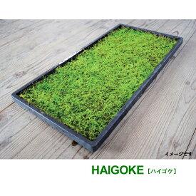 国産 這苔 300×450mm 10トレー ビロードのような葉 苔玉 装飾資材 庭園材 アクアテラリウム 2〜5cm 天然 日照に強い 苔 ハイゴケ 日建 代引不可