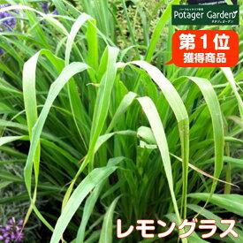 ハーブ 苗 レモングラス(苗木 ハーブティー ハーブ苗専門店 感動する香り Herb)Lemongrass