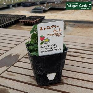 ハーブ 苗 ストロベリーミント(イチゴ 苺 ハッカ油 虫除け グリーン 鉢植え 栽培方法 育て方 使い方 選び方 種類 花苗 簡単 プランター セット 栽培キットも ミントグリーン ドライハーブ