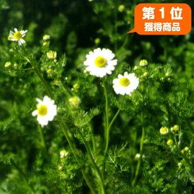 カモミール 苗 ローマンカモミール(カモマイル 花苗 苗木 ハーブティー ハーブ苗専門店の感動する香り Herb)