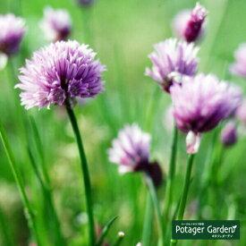 ハーブ 苗 【チャイブ(シブレット)】 苗木 料理 ハーブ苗専門店 感動する香り Herb