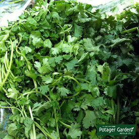 パクチー 苗(コリアンダー)料理 ハーブ苗専門店 感動する香り Herb