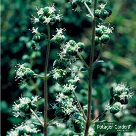 ハーブ 苗【スイートマジョラム】苗木 料理 ハーブ苗専門店 感動する香り Herb