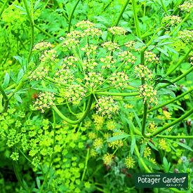 ハーブ 苗【イタリアンパセリ】苗木 料理 ハーブ苗専門店 感動する香り Herb