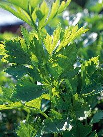 ハーブ 苗 【スープセロリ】 苗木 料理 ハーブ苗専門店 感動する香り Herb